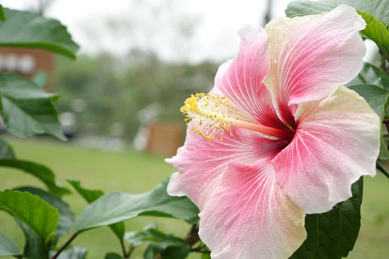 Pro bohaté kvetení čínské růže