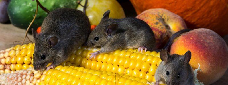 Na myši s lepidlem