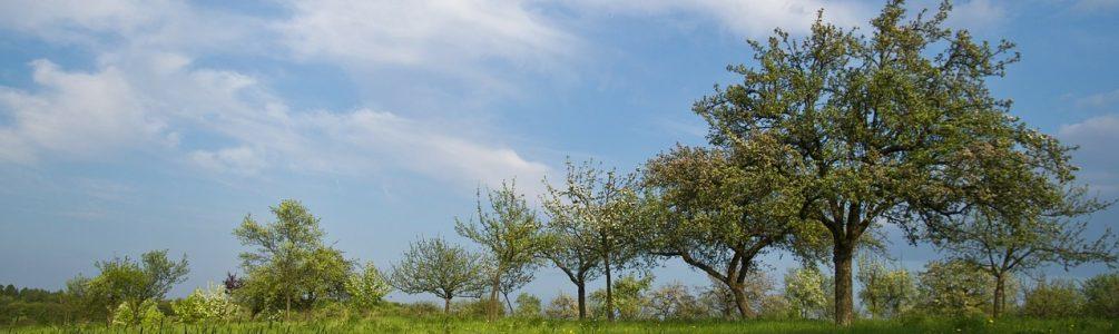 Přesazování starších stromů