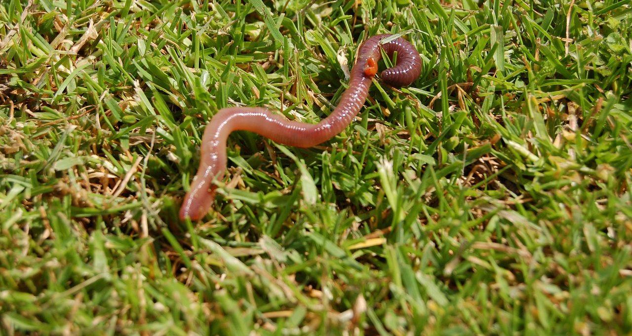 Jsou žížaly v trávě problém?