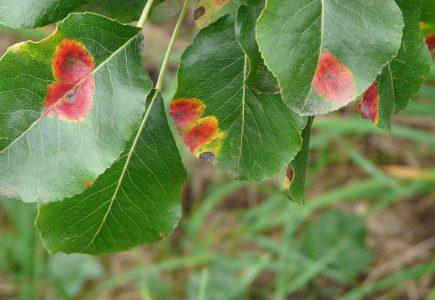 Rez hrušňová: jak předejít infekci a ošetřit již nakažené dřeviny