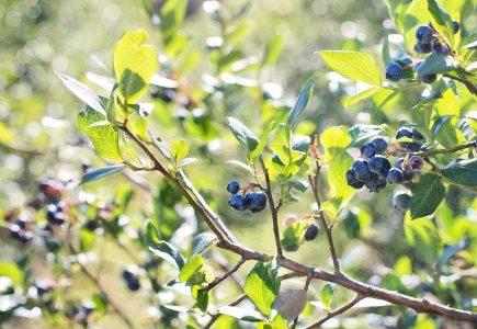 Jak pěstovat kanadské borůvky a vyrobit z nich domácí víno