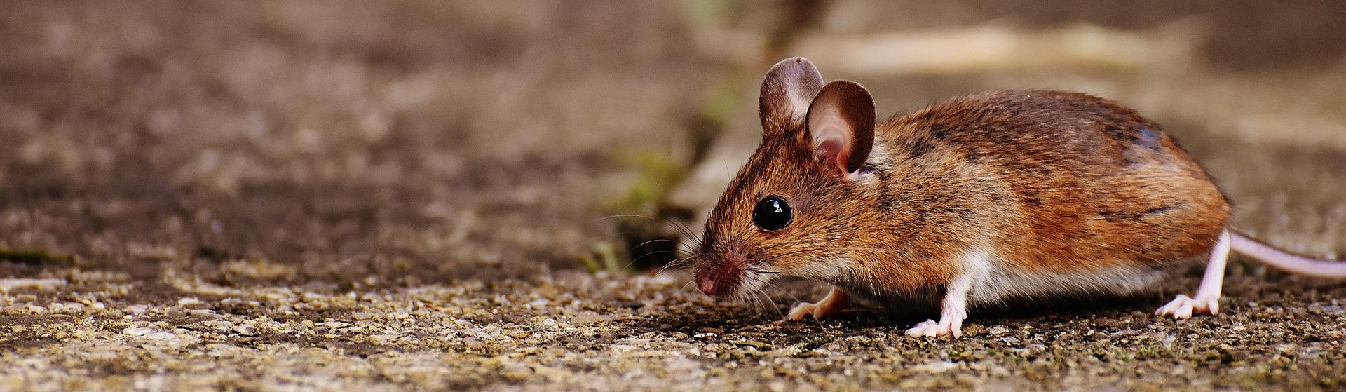 Myš v domě: Jak se zbavit nevítaného hosta